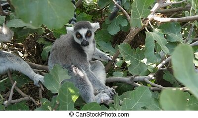 Two active lemurs sitting, smelling and creeping in a leafy ...