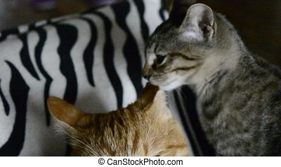 two adorable cats enjoy and play at home