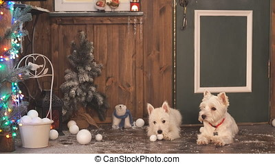 Two Adorable dogs ready to celebrate Christmas. - Two...