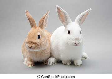 Two adorable little baby bunnies in a solid background gazing in