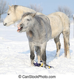 Two adorable ponies in winter