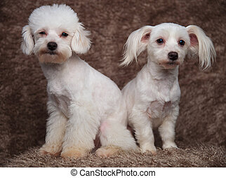 two adorable white bichons sitting and looking to side