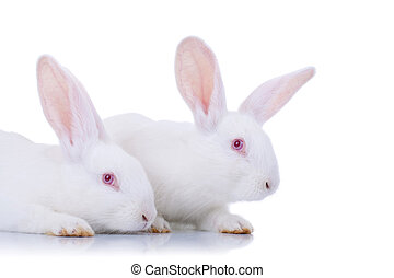 Two adorable white rabbits.
