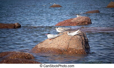 Two adult birds of a seagull and baby bird on a stone in the sea