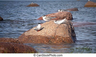 Two adult birds of a seagull and baby bird on a stone in the...
