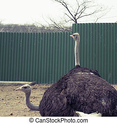 Two adult ostrich live in the.