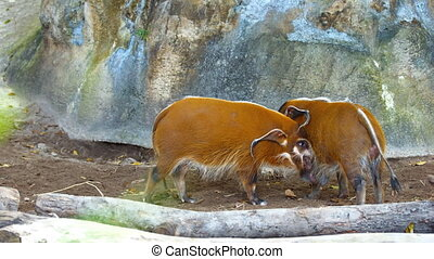 Two adult Red River Hog (Bush Pig). FullHD 1080p video - Two...