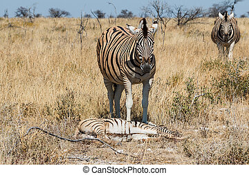 Two adult zebra and one baby resting