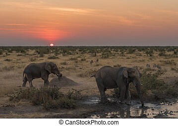 Two African elephants and zebras in the twilight of sunset