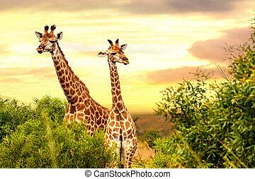 Two african giraffes in savana at sunset.