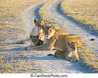 Two african lioness with cubs