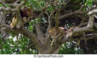 Tree lions in the national Park Queen Elizabeth, they do not like to wet their paws, so all the free time these beautiful cats spend on the branches of trees. Watching tree lions on Safari in the African savanna in Uganda