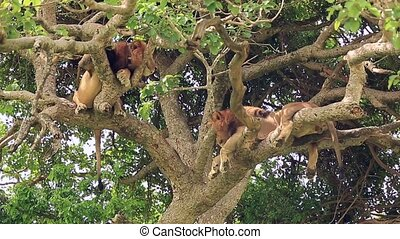 two African lions perched on a tree with its paws dangling down