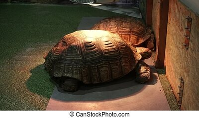 Two african spurred tortoise (Centrochelys sulcata) under the heating lamps. 4k close up.