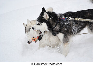 Two aggressive dogs on the snow