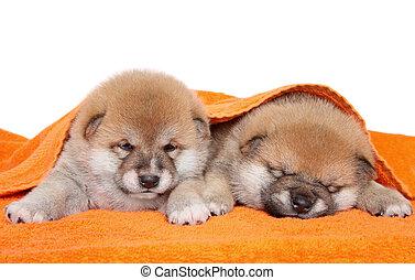 Two Akita-Inu puppies under blanket
