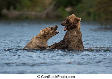 Two Alaskan brown bears playing