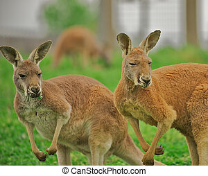 Two alert kangaroos. - Two alert kangaroos standing on hind...