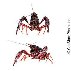 two  alive crawfish isolated on white background