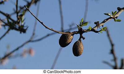 Two almonds on tree in Andalusia