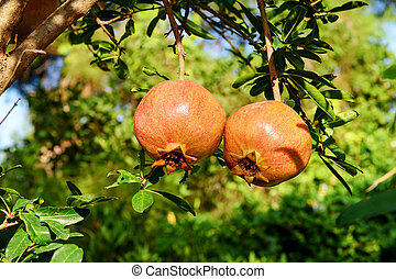 Two almost ripe pomegranate fruits hanging on a tree.