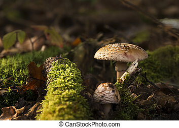Two Amanita regalis mushrooms growing in the forest