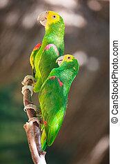 Two Amazon parrots