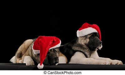 Two American Akita dogs lie, almost falling asleep, in the studio on a black background in slow motion. The pets are both wearing red Santa Claus hats on their heads. Happy New Year and Merry Christmas. Close up.