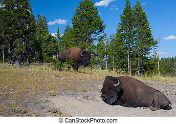 Two American Bison in Yellowstone National Park