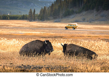 Two american bisons in meadow with running car in background.
