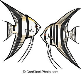 Two Angelfish - vector illustration two kinds of freshwater ...