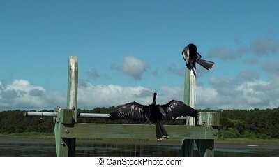 Two Anhinga Birds Sunning - Two Anhinga Darter birds sunning...