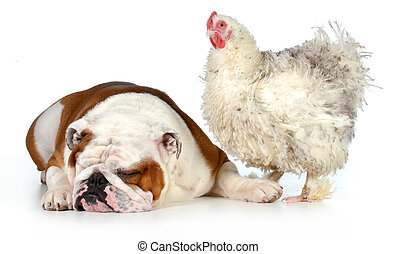 two animals - farm chicken and english bulldog together...