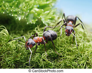 two ants formica rufa on go - two red ants formica rufa on...