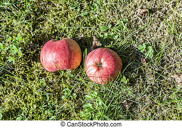 two apples lie on grass in the garden