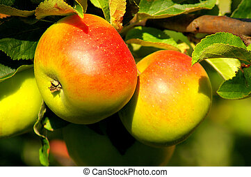two apples - two ripe apples on a tree
