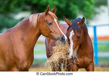Two Arabian horses eating hay