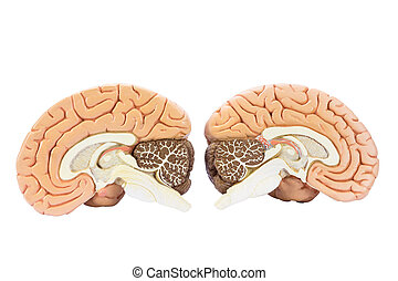 Cross section of two artificial human hemispheres, two halves of brain for education, isolated on white background