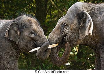 Two asian elephants eating tree-bark - Two asian elephants...