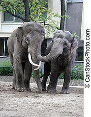 two asian elephants hugging in Berlin Zoo