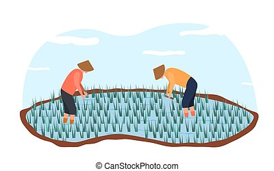 Two asian farmers in ethnical hats harvesting rice in paddy field