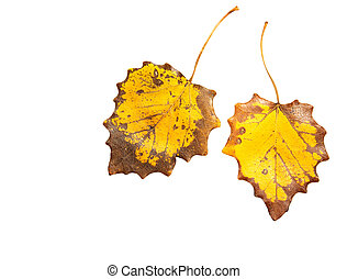two autumn leaf on a white background