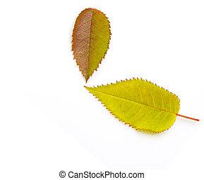 two autumn leaf on white background