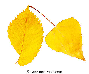 Two autumnal leaves - Two autumnal yellow leaves on white...
