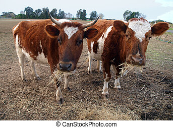 Two Ayrshire Cows Eating Hay. The older cow shows the...
