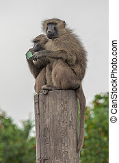 two baboons on top of a post