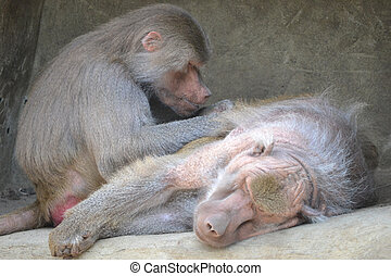 Two baboons - one resting, another sitting