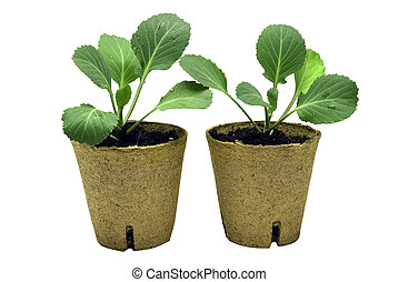 Two Baby Cabbage Plants
