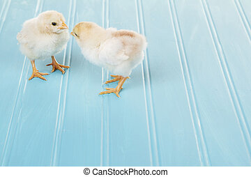 Two baby chicks on a blue background, spring time or Easter