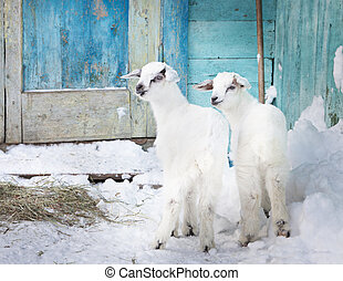 Two baby goats in the farm
